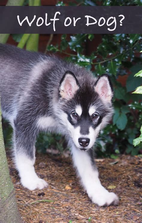 wolf looking dogs dogs that look like wolves the happy puppy site