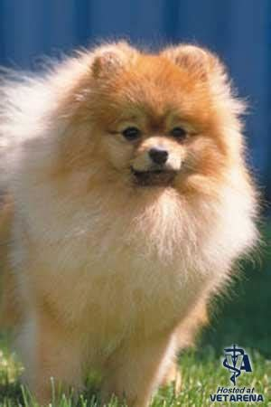 pomeranian guard pomeranian complete breed information and photos
