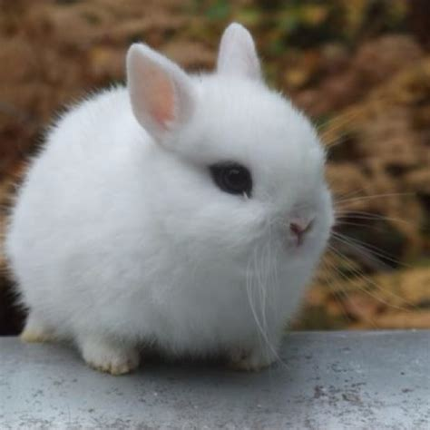 34 Punny White 34 best images about hotot rabbits on