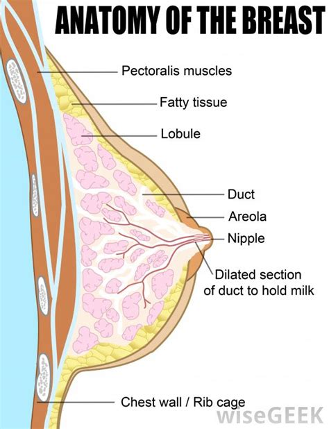 diagram of milk ducts in breast what is paget s disease of the with pictures