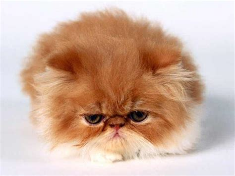 foto dei gatti persiani il gatto persiano come prendersene cura consigli