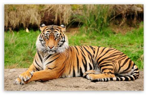 Chn Tiger Pink Set tiger wallpaper high resolution