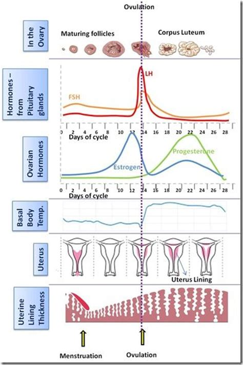 mood swings and ovulation 25 best ideas about menstrual cycle on pinterest period