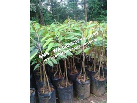 Bibit Durian Bawor Sudah Berbuah bibit durian montong bibit durian unggul durian bawor