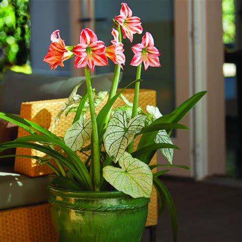 in door plant put in pot vide amaryllis after the holidays sunset