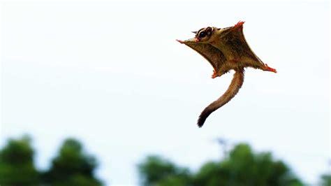 mammiferi volanti petauro dello zucchero petaurus breviceps animali volanti