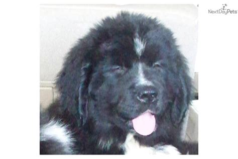 newfoundland puppies for sale ny newfoundland puppy for sale near chattanooga tennessee 54e5f444 c331