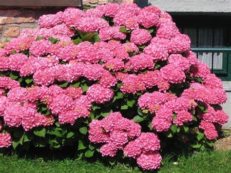 ortensie vaso ortensie coltivazione piante per giardino come