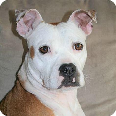 adoption milwaukee milwaukee wi boxer boston terrier mix meet a for adoption