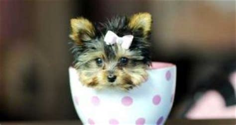 how much a teacup yorkie cost parti yorkies what is a parti yorkie with pictures yorkiemag