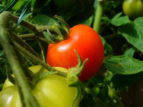 Tomato Plant S Garden Let S Talk Tomatoes Brothers