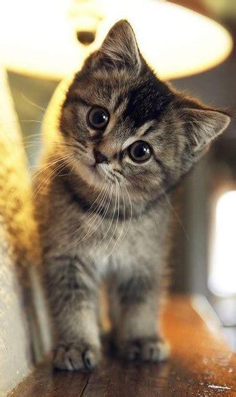 super cute kitten super cute kittens cutest cute