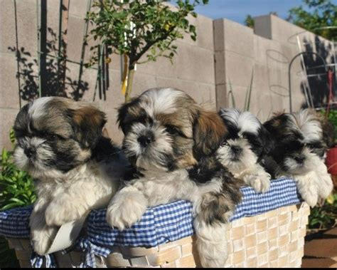 2 month shih tzu care 1000 images about shih tzus on puppys your and shih tzu puppy