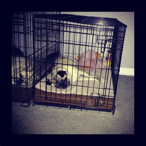 pug crate busted the pug