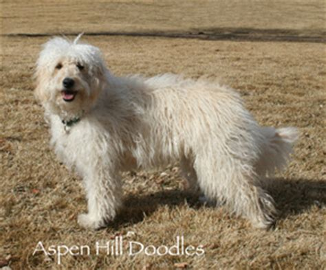 mini goldendoodle health miniature goldendoodle health problems breeds picture