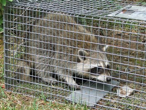 how to catch a raccoon in my backyard how to trap a raccoon raccoon removal blog