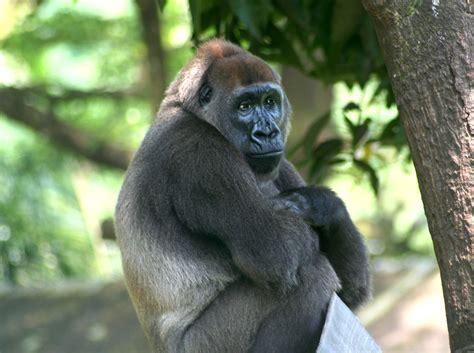cross river gorilla | Animals of Cameroon | Pinterest