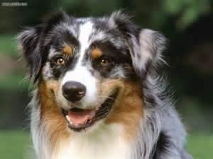 hypoallergenic dogs medium size www pixshark com