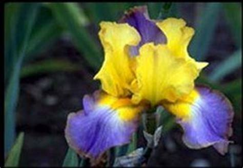 tennessee state flower tennessee state flower iris tennessee 16 06 01 1796