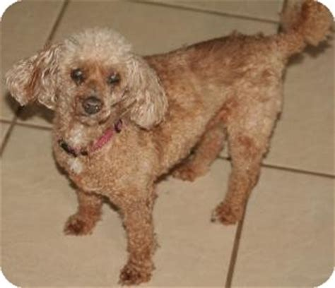 puppies for adoption tucson rudy adopted tucson az poodle miniature mix