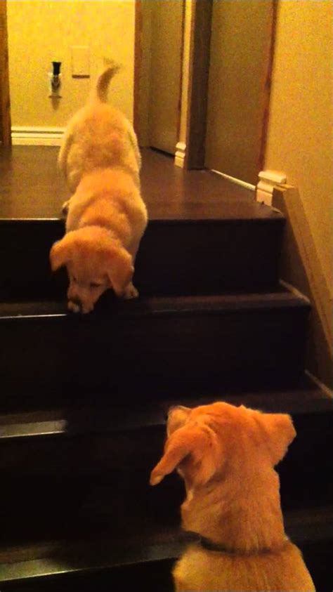 puppies to go puppy teaching puppy to go stairs so original from owner