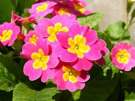 primule in vaso primula primula polyantha piante annuali