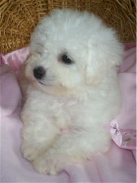 havanese bichon frise rupert the havanese puppies daily puppy breeds picture