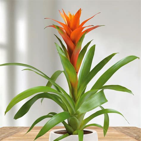 Buy A Planter bromelia guzmania orange 1 plant buy online order yours now