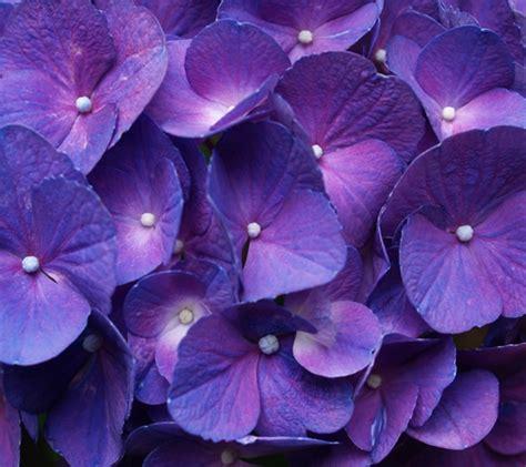 fiori colore viola 60 bellissimi sfondi in alta definizione per android