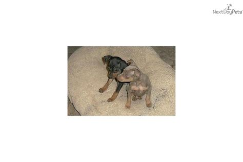 bench dogs for sale puppies for sale from t bench miniature pinschers