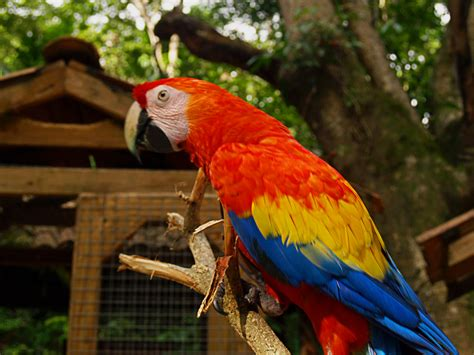 file ara macao macaw mountain bird park 8a jpg
