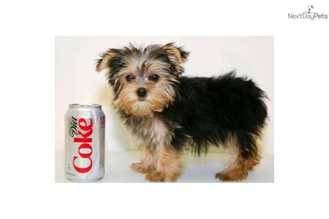 names for yorkie yorkie puppy names
