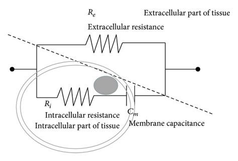 biological electrical resistor simplified equivalent three element resistor and capacitor rc