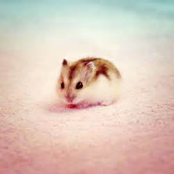 25 best ideas about baby hamster on pinterest a hamster