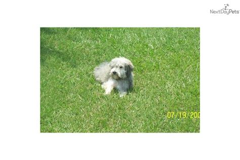 havanese adults for sale meet a havanese puppy for sale for 300 adults for sale