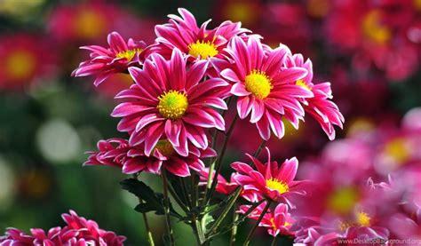 beautiful flowers wallpapers desktop