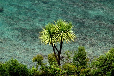 lone cabbage tree  zealand stock photo