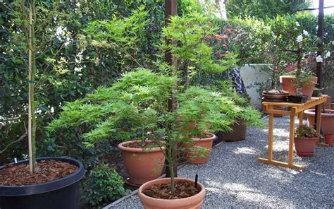 15 gallon maple tree kamagata japanese maple 3 gallon tree perennial japanese maples 11 15