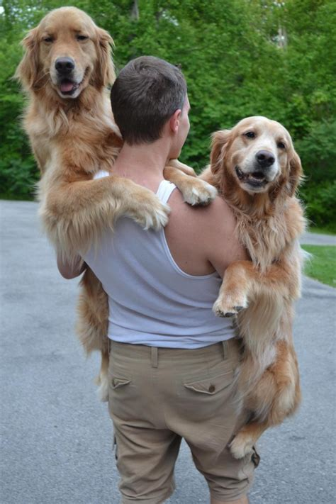 how big can golden retrievers get 15 dogs who are way big to be carried but get a lift anyway