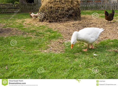backyard geese geese nibbling grass stock photo image of goose