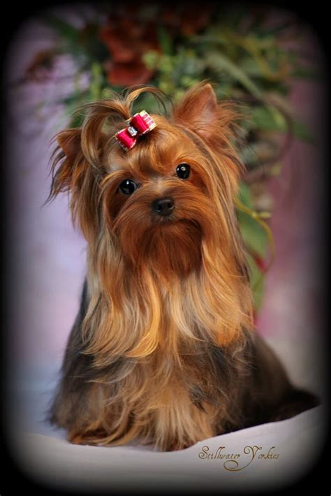 where to get a yorkie beautiful apples and yorkies on