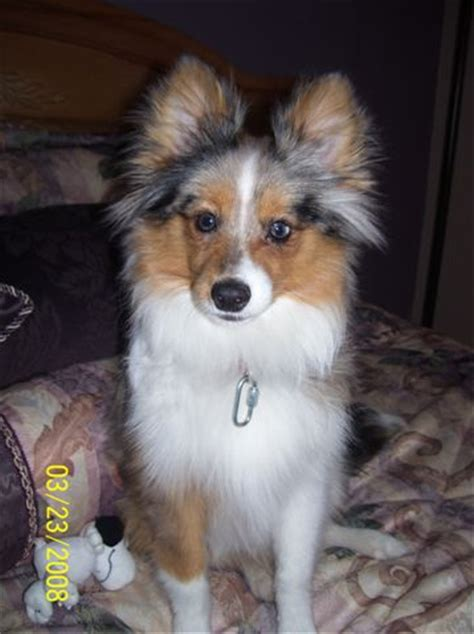 shetland sheepdog pomeranian mix poshies pomeranian and sheltie mix pictures and information