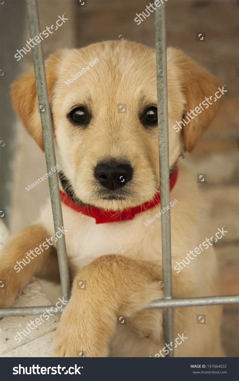golden retriever puppy and baby baby golden retriever puppy cage stock photo 197064032
