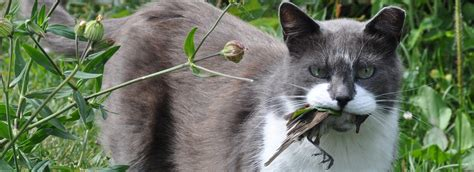 cats invasives american bird conservancy