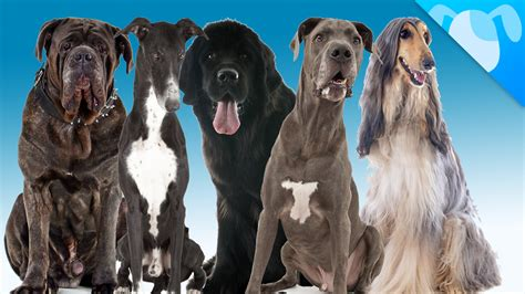 best large dogs for apartments best breed