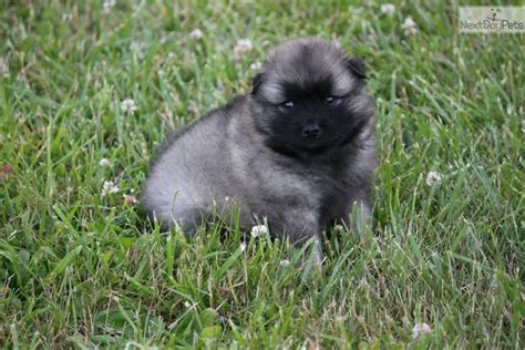 keeshond puppies keeshond puppy for sale near scranton wilkes barre pennsylvania 6dada99d 8571
