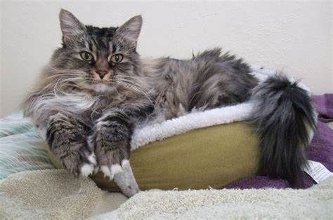 How Do I Keep Cat From Shedding So Much by Shedding Dread How To Keep Your Cat S Coat From