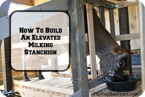 we built our first cow milking stanchion farm how to build an elevated milking stanchion the flip flop