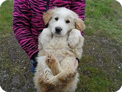 goldendoodle puppy rescue nj pet not found