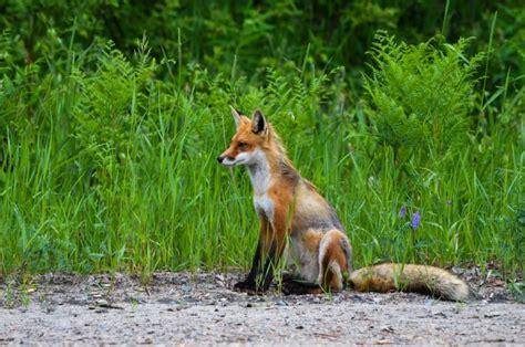 imagenes de paisajes con zorros zorro caracter 237 sticas h 225 bitat alimentaci 243 n